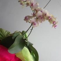 Florada anual - hastes gêmeas